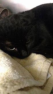 Domestic Shorthair Cat for adoption in Ashtabula, Ohio - Booboo