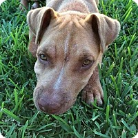 Pit Bull Terrier/Shar Pei Mix Dog for adoption in Victoria, Texas - Jaws