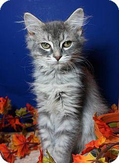 Maine Coon Kitten for adoption in Houston, Texas - Phyllis