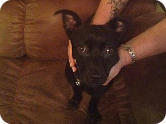Chihuahua/Rat Terrier Mix Dog for adoption in Ashburn, Virginia - Zoey