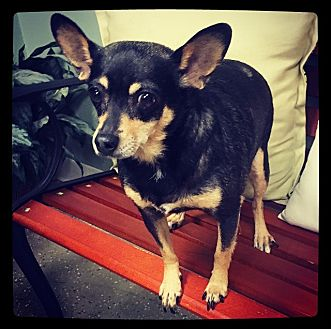 Chihuahua Mix Dog for adoption in Grand Bay, Alabama - Dove