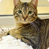 Adopt A Pet :: Shiba - Aiken, SC