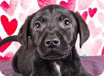 Labrador Retriever Mix Puppy for adoption in Cincinnati, Ohio - Shandy