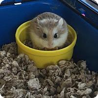 Adopt A Pet :: Bruno - Libertyville, IL