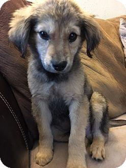 Labrador Retriever/Shepherd (Unknown Type) Mix Puppy for adoption in Hayes, Virginia - Eugene
