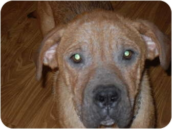 Shar Pei/Mastiff Mix Dog for adoption in Newport, Vermont - Chesney