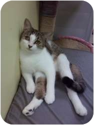 Domestic Shorthair Cat for adoption in Fort Lauderdale, Florida - Verbal