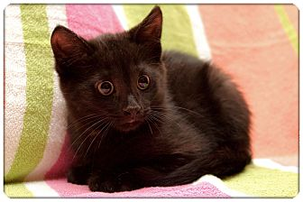 Domestic Shorthair Kitten for adoption in Sterling Heights, Michigan - Denny - ADOPTED!