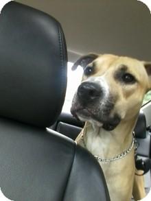 Rhodesian Ridgeback/American Staffordshire Terrier Mix Dog for adoption in selden, New York - Clancy