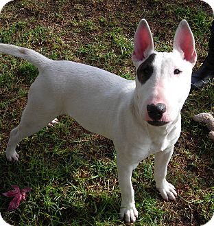 Bull Terrier Puppy for adoption in El Cajon, California - Peter