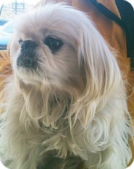 Pekingese Dog for adoption in Tucson, Arizona - Spike