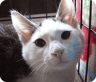 Domestic Shorthair Cat for adoption in Brooklyn, New York - Wally