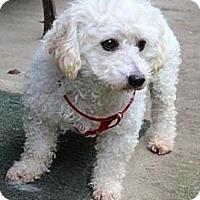 Adopt A Pet :: Silky - Seattle, WA