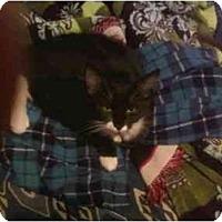 Adopt A Pet :: Black & White Kitten - Alliance, OH