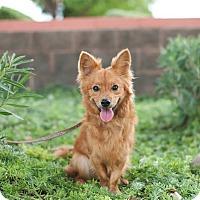 Adopt A Pet :: Alfie - Gilbert, AZ