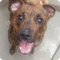 Adopt A Pet :: Birdie(ADOPTED!) - Chicago, IL