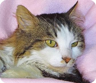Domestic Longhair Cat for adoption in Renfrew, Pennsylvania - Willow