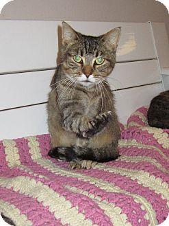 Domestic Shorthair Cat for adoption in Toledo, Ohio - Emma