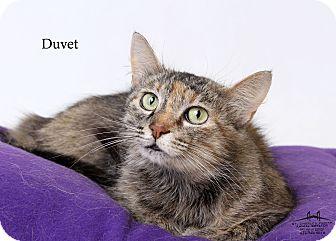 Domestic Mediumhair Cat for adoption in Luling, Louisiana - Duvet