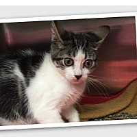 Domestic Shorthair Cat for adoption in Ardsley, New York - Saint