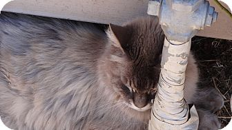 Himalayan Cat for adoption in El Dorado Hills, California - Princess