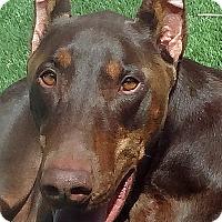 Adopt A Pet :: Zeus - Las Vegas, NV