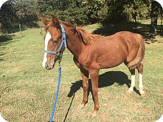 Quarterhorse Mix for adoption in Norman, Oklahoma - Dallas