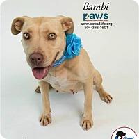 Adopt A Pet :: Bambi - Belle Chasse, LA