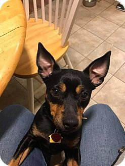 Miniature Pinscher/Chihuahua Mix Dog for adoption in Dallas, Texas - Cooley
