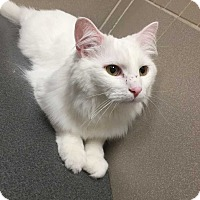 Adopt A Pet :: Snowella - Addison, IL