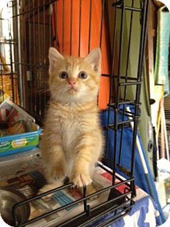 Manx Kitten for adoption in Allentown, Pennsylvania - Peep