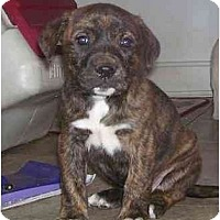 Adopt A Pet :: Tandy - Chandler, IN