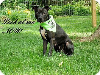 Pit Bull Terrier Mix Dog for adoption in Portage, Ohio - Margo
