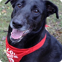 Labrador Retriever Mix Dog for adoption in Fort Worth, Texas - Wrapper