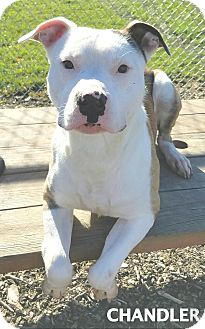 Husky/Pit Bull Terrier Mix Dog for adoption in Lapeer, Michigan - Chandler