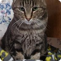 Adopt A Pet :: Elvis (marbleized Bengal mix) - Witter, AR