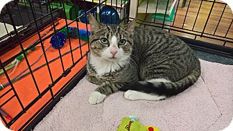 Domestic Shorthair Cat for adoption in Raleigh, North Carolina - BOWSER