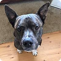 Adopt A Pet :: Jackson! - Eastpointe, MI
