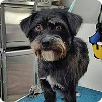 Adopt A Pet :: Chopper - Iroquois, IL