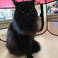 Adopt A Pet :: Sapphire - Palm Springs, CA