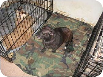 Chihuahua/Pug Mix Dog for adoption in Acton, California - Bella