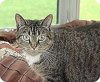 Domestic Shorthair Cat for adoption in New York, New York - Cuma (Westhampton)