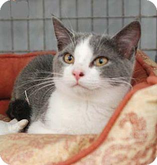 Domestic Shorthair Cat for adoption in Merrifield, Virginia - Jack Daniels