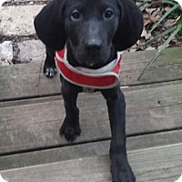 Adopt A Pet :: Widget - Spring Valley, NY