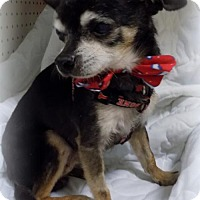Chihuahua Dog for adoption in Troy, Illinois - Hershell Fostered (Norma)