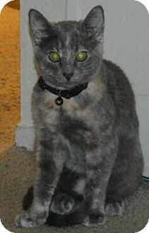 Domestic Shorthair Cat for adoption in Novato, California - Stone