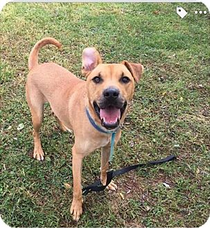 Labrador Retriever/American Pit Bull Terrier Mix Dog for adoption in WESTMINSTER, Maryland - Axel