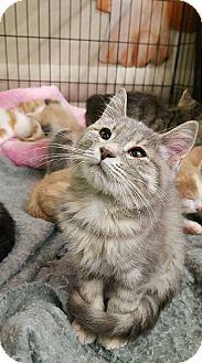 Domestic Shorthair Kitten for adoption in Bensalem, Pennsylvania - Pebbles