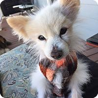 Adopt A Pet :: Tom the Pom - Knoxville, TN