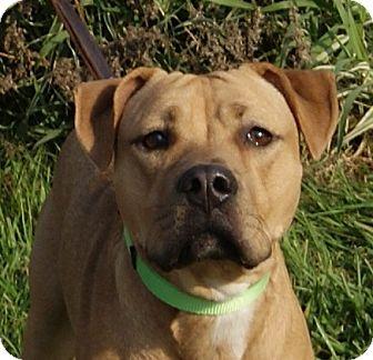 Labrador Retriever Mix Dog for adoption in Monroe, Michigan - Smooth